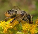 leaf-cutter bee -- Megachilid family