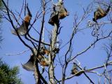More Flying Foxes
