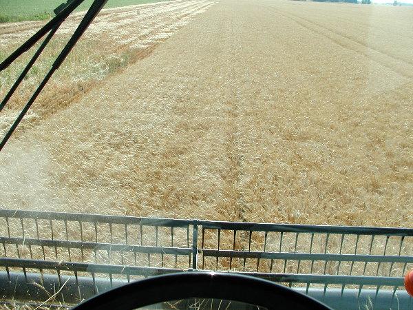 Wheat harvest in  July.JPG
