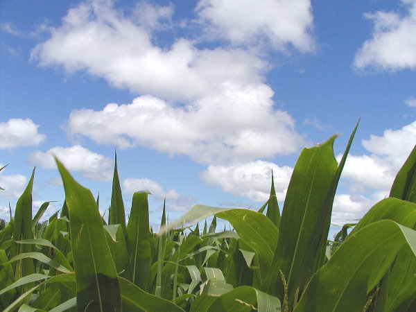 Corn end of July.JPG