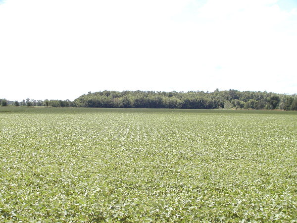 Soy Beans at home .JPG