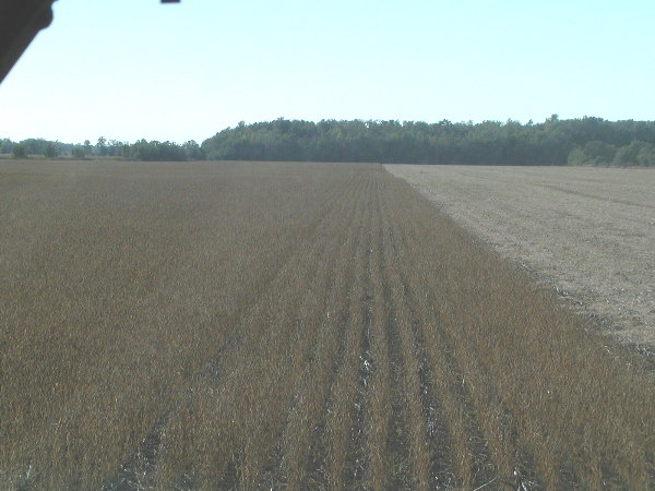 Soy Beans ready to combine end of Sept.JPG