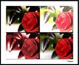 12/13/04 - Rose (times 4)
