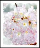 Blossom Cluster B010408_021a2awF.jpg