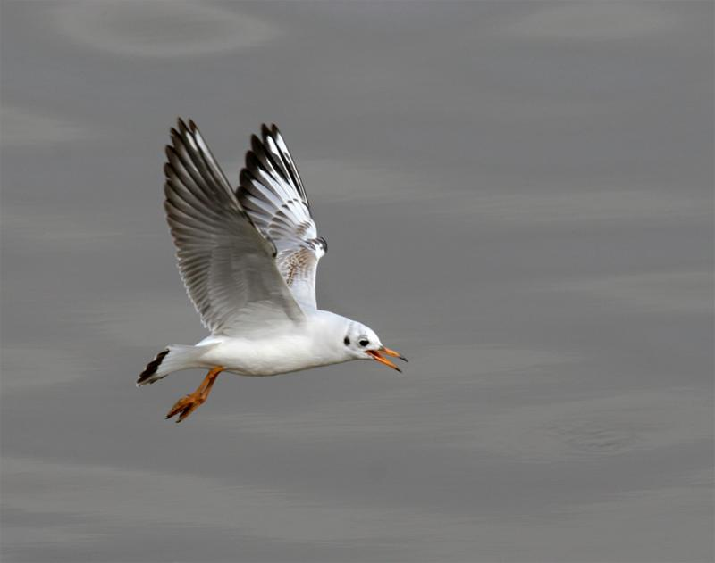 The-singing-Gull.jpg