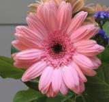 Pink Daisy.jpg