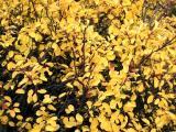 Rain on Yellow Bush