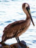 Pelican / Pelícano