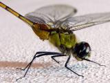 Green Dragonfly / Libélula verde