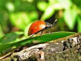 Small beetle / Pequeño escarabajo
