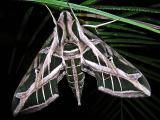 Moth / Polilla