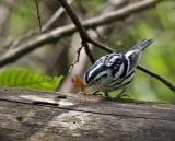 A Black and White warbler catches a butterfly