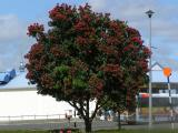 Pohutukawa tree.jpg