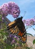 Butterfly Bush buddleja