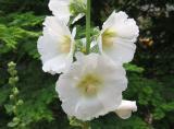 Hollyhock Blossoms