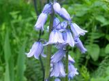 Hyacinthoides or Bluebells