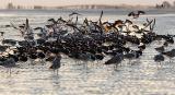 skimmer flock