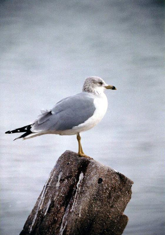 Bird rignbill gull