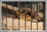 Lion - CRW_1371 copy.jpg