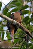 Brush Cuckoo 