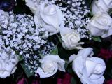 white roses from Jena