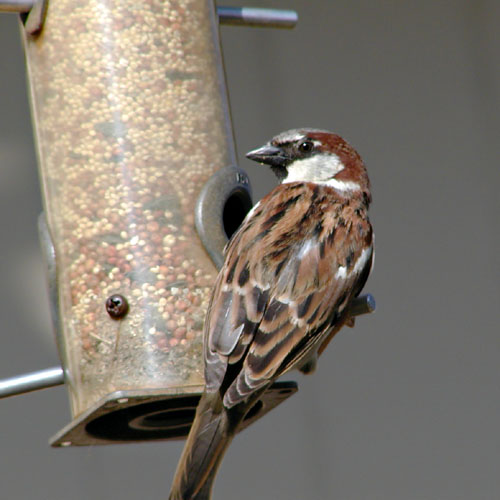 English Sparrow (cropped version)