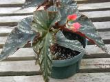 Begonia Mr. Majestic