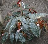 Begonia Sharon Seelert