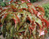 Begonia Pink Jade