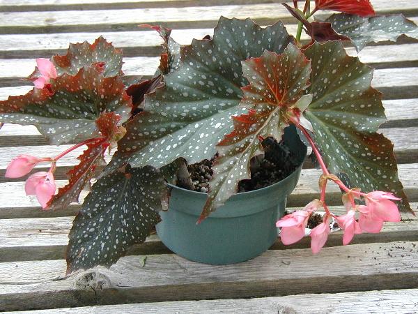 Begonia Dream Lover