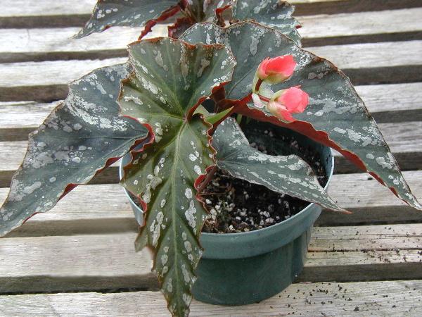 Begonia Mr. Majestic