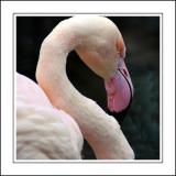 Flamingo ~ Birdland, Bourton-on-the-Water, Cotswolds