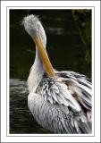 Pelican't reach ~ Birdland, Bourton-on-the-Water, Cotswolds