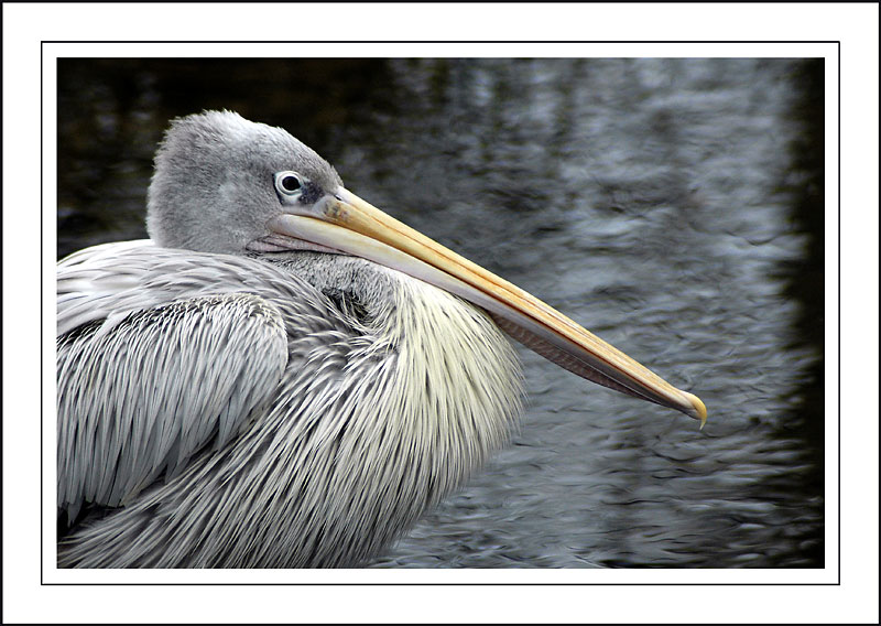 Pelican ~ Birdland, Bourton-on-the-Water, Cotswolds