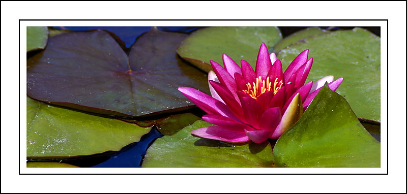 Deep pink water lily