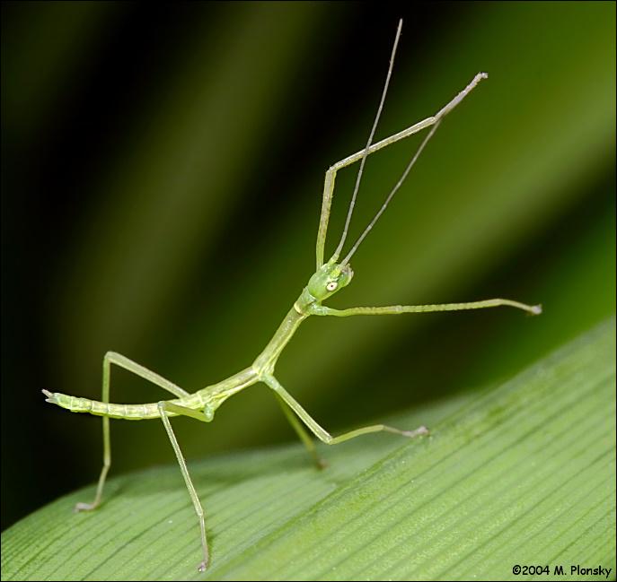 Baby Stick Bug