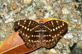 Lexias canescens pardalina