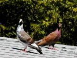 Pidgeons on the roof2.jpg(177)