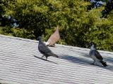 Pidgeons on the roof3.jpg(173)