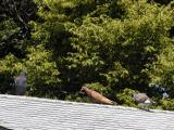 Pidgeons on roof4.jpg(149)