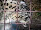 Snow Leopard2.jpg(187)