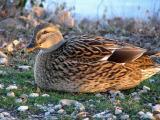 Posing Duck.jpg(408)