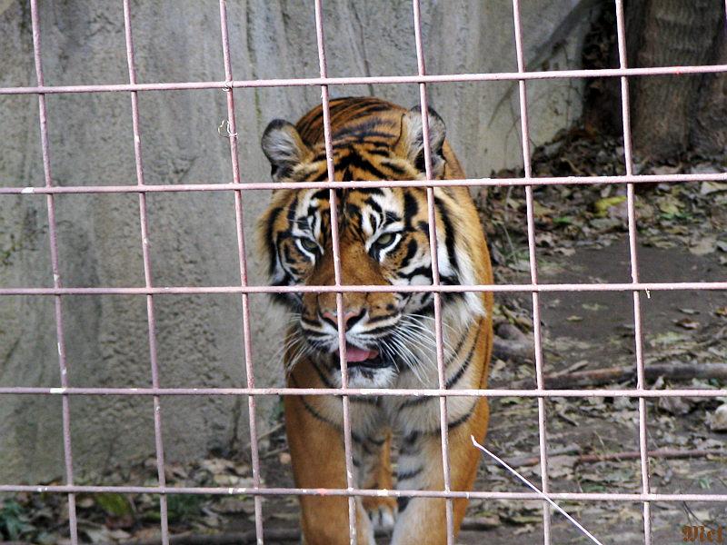 Bangel Tiger2.jpg(449)