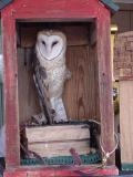 Barn Owl Dusty