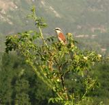 grauwe Klauwier - Lanius collurio - Pie-grièche écorcheur - Red-backed Shrike