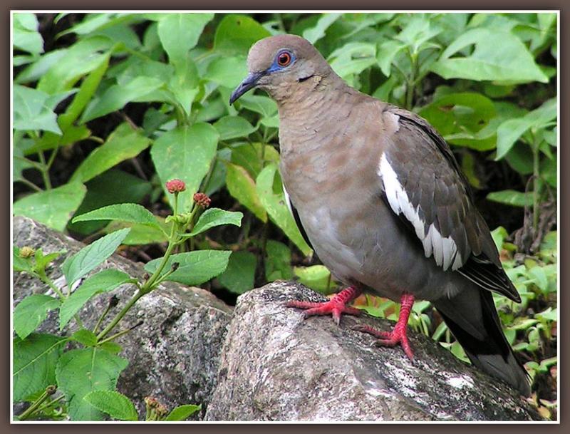 Dove on Rock