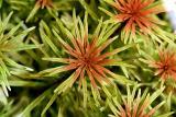 24th day - Ludwigia inclinata var. verticilata Cuba