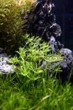 24th day - Rotala sp. Green