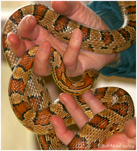 Corn Snake  Erin