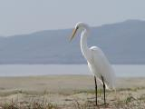 A hungry egret dines at the beach